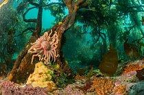 Hvězdice přilnula ke stromovité mořské řase v jižním Atlantiku u pobřeží Bird Island na místě, které vypadá jako podvodní deštný les. Podmořské hřbety, jež utvářejí Falklandské ostrovy, vytlačují živiny vzhůru z hlubin a tvoří bohatý vodní svět.