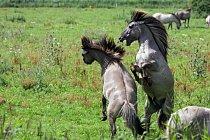 Věděli jste, že divocí koně (mustangové) jsou potomky španělských koní, které dovezli Evropané, když kolonizovali Ameriku?…