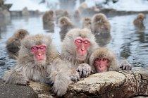 Makakové v drsném japonském prostředí přežili díky své vynalézavosti a tomu, že nejsou nijak nároční při výběru stravy.