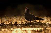 Záběr rybáka bahenního (Chlidonias hybrida) v mokřadu v Maďarsku zvítězil v kategorii mladý fotograf ptáků roku.