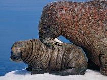 Mroží samice se seznamuje snovorozeným mládětem naplovoucím ledu vkanadském Foxe Basin avyužívá ktomu víc vousy ačenich než zrak, který má slabý. Mládě bude kojit dva roky.