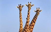Žirafy žijí ve smíšených skupinách v počtu 20 až 50 jedinců. Výjimkou nejsou ani ty z Národního parku South Luangwa v Zambii.