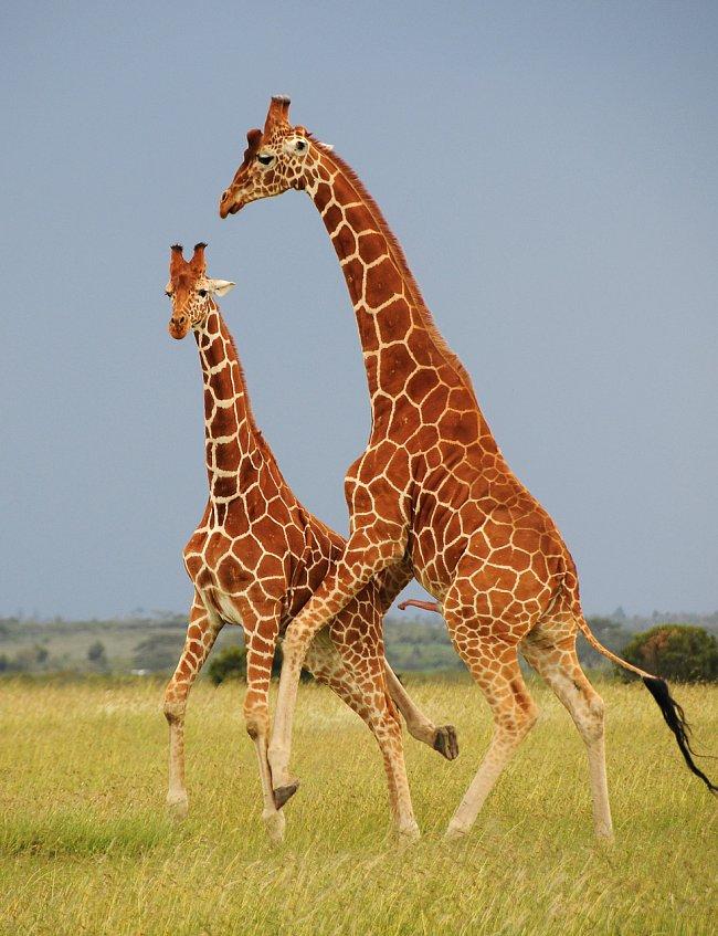 Ač to na první pohled vypadá jako pokus o páření, jde ve skutečnosti o hrátky dvou mladých samců, kteří se tam připravují na to, co jim přinese dospělost. Foceno v rezervaci Ol Pejeta, Keňa.