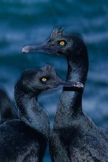 Ostrov Mercury je nejdůležitějším útočištěm pro ohroženého kormorána pobřežního, jehož populace se vposledních desetiletích zmenšila na pouhých několik tisíc kusů.