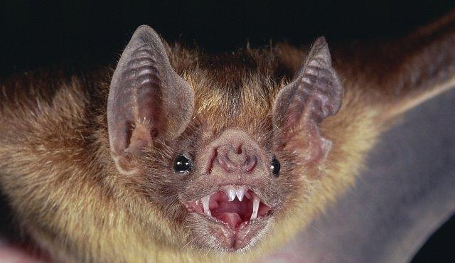 Nejhorší pandemie dějin mají na svědomí netopýři
