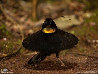 Rajští ptáci (rajka)