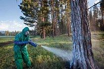 Do boje se škůdcem jsou nasazovány i insekticidy.