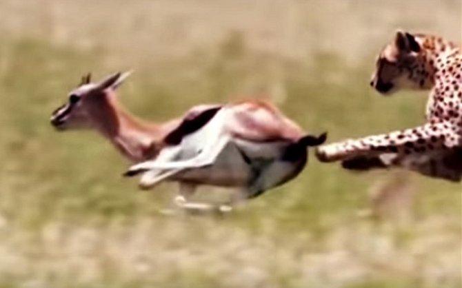Gepard stíhá antilopu