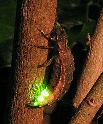 Světluška větší (Lampyris noctiluca)