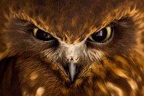 Sovka bubuk nebo sova skvrnitá - malá a zavalitá sova, která obývá převážně Nový Zéland. Stejně jako ostatním sovám jí při lovu pomáhá dokonalý zrak a noční vidění.