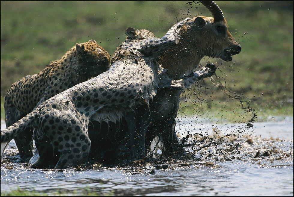 Gepardi útočí