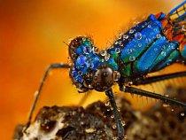 Na rozdíl od šídel, mají motýlice přední a zadní křídla podobně velká.