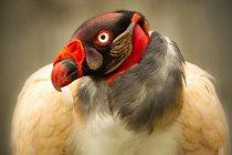 Kondor královský (Sarcoramphus papa). Kondor královský ostatních druhů kondorů odlišuje na první pohled - pestřejším zbarvením, díky čemuž se asi stal kultovním ptákem Mayů.