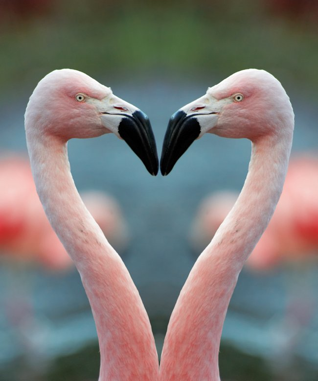 Plameňáci jsou monogamní tvorové.