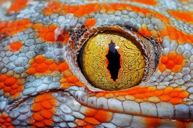 Gekon obrovský dokáže vnímat barvy i ve sporém světle.