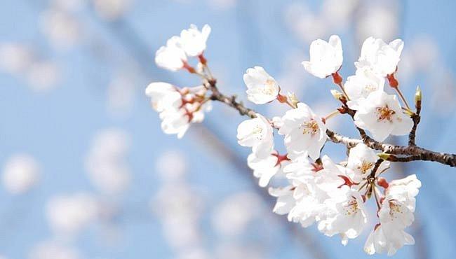 Třešňové rituály jako symbol lásky i lístku na věčnost