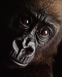 Mládě gorily právě zabavené pytlákovi. Jeho matka byla zastřelena před měsícem v rodném Gabonu.