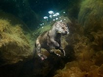 S rybou v tlamě se mladý vydří samec vynořuje z porostu hnědých řas na Shetlandách.