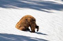 Tento grizzly v Yellowstonském národním parku si zřejmě potřeboval zchladit hlavu.