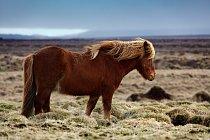 Islandský kůň - originální islandské plemeno