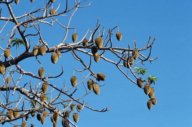 Plod baobabu je vtradiční africké medicíně využíván kléčbě horečky, ale rovněž je součástí místní kuchyně.