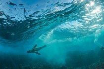 Lachtan jihoafrický surfuje na vlnách Atlantiku nedaleko Kapského Města. Vzájmu ochrany mořského života vpobřežních vodách zde byla vroce 2004 vyhlášena chráněná mořská oblast. VJižní Africe je jich celkem 23.