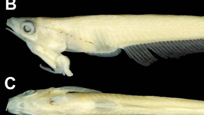 Ryba s penisem na hlavě zaskočila biology. Představuje evoluční záhadu