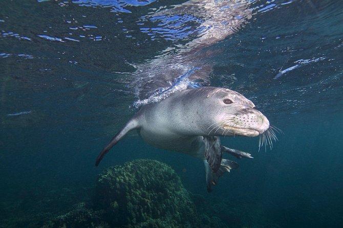 Tuleň zachránil vyděšenou želvu.