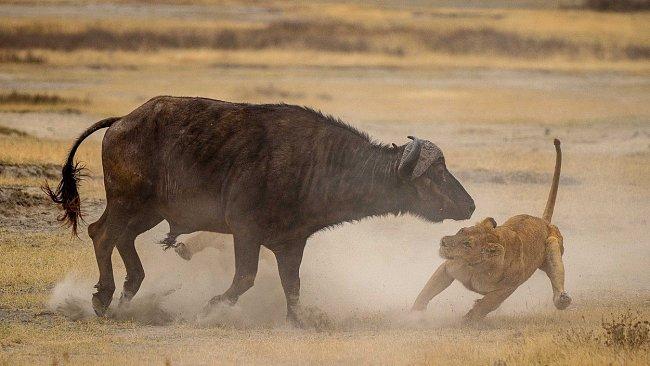 ...buvolovi se podařilo utéct...
