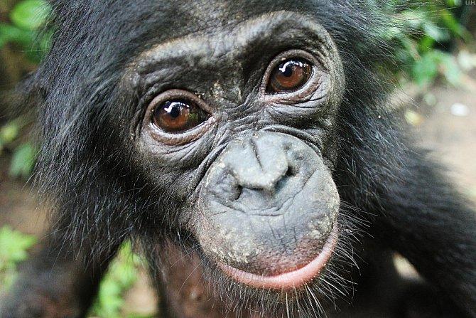Autor fotografií Jingzhi Tan, Ph.D., první čínský občan, který se podílí na výzkumu lidoopů v Africe.