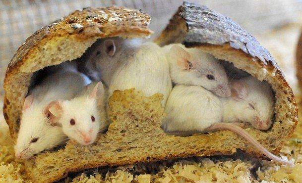 O myších a Vikinzích. Evropu nedobývali jen Vikingové, pomáhaly jim i myši