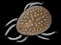 Klíšťák zhoubný (Argas persicus) patří ke krevsajícím parazitům napadajícím ptáky, zejména domácí drůbež. Od příbuzných klíšťat se klíšťáci liší přítomností štítu, který kryje celé jejich tělo včetně