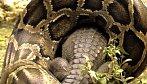 Krajta vítězí nad krokodýlem