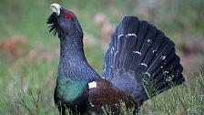 Tetřev je pták roku 2012. V Česku je posledních 300 kusů