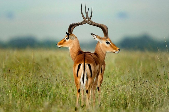 Dvě gazely, které splynuly v jednu, z keňské rezervace Masaai Mara.