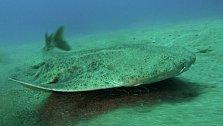 Polorejnok křídlatý (Squatina squatina ) je paryba velká až 1,5 metru. Jde o žraloka, který se nezvykle podobá rejnokovi.