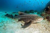 Al-Dimaníjat, Omán: Žralok zebrovaný