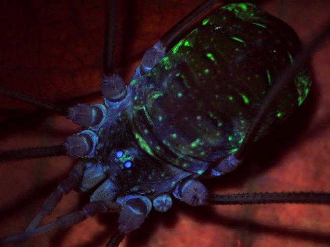 Pod fluorescenční lupou se navíc i nejobyčejnější sekáč z fakultní botanické zahrady promění v barvami hýřícího krasavce. Sekáči se totiž pod UV světlem projevují nápadnou autofluorescencí kutikuly.