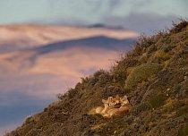 Pichlavé keře a nerovnosti drsné skály nevadí pumě pojmenované Sarmiento (uprostřed) ani jejím mláďatům. Tulí se k sobě na sklonku zimního dne nad jezerem Sarmiento poblíž chilského národního parku Torres del Paine.