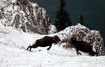 Samci ovce tlustorohé se proti sobě pouští do krvavé bitvy hlava proti hlavě.