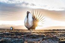 Slunce vychází ve Wyomingu nad samci tetřívků křovinných s načechranými hruděmi a roztaženými ocasními pery. Tito ptáci se dvoří na pasekách severoamerických pelyňků.