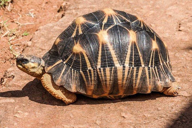 Želva paprsčitá (Astrochelys radiata)