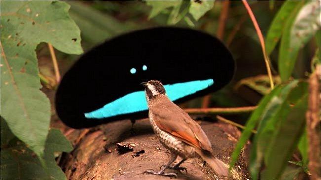 VIDEO: Bizarní tance lásky uprostřed pralesa. Barevné rajky předvádí neuvěřitelné figury