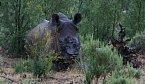 OBRAZEM: Masakr nosorožců. Proč pytláci útočí právě na ně?