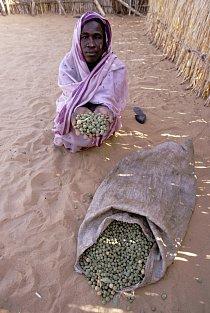 Ti nejchudší, kteří nemají co jíst, sbírají jedovaté bobule, zvané mokhet, které ztratí obsažený jed. Ale musí se vylouhovat v několika čistých vodách, což není v Súdánu snadné.
