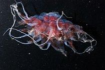 Hlubinná medúza Atolla je v temné vodě prakticky neviditelná.