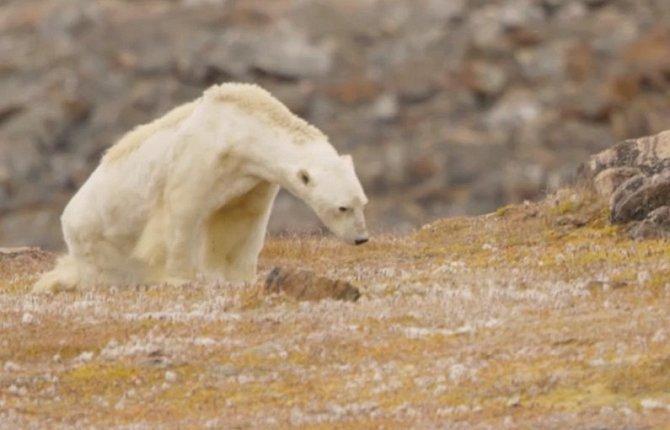 Vyzáblý lední medvěd vyvolal bouři emocí.