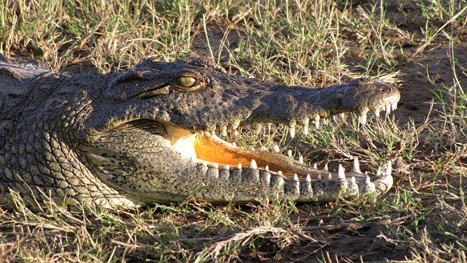 Krokodýl se často tváří jakoby spal, ale dokáže zrychlit více než Usain Bolt.