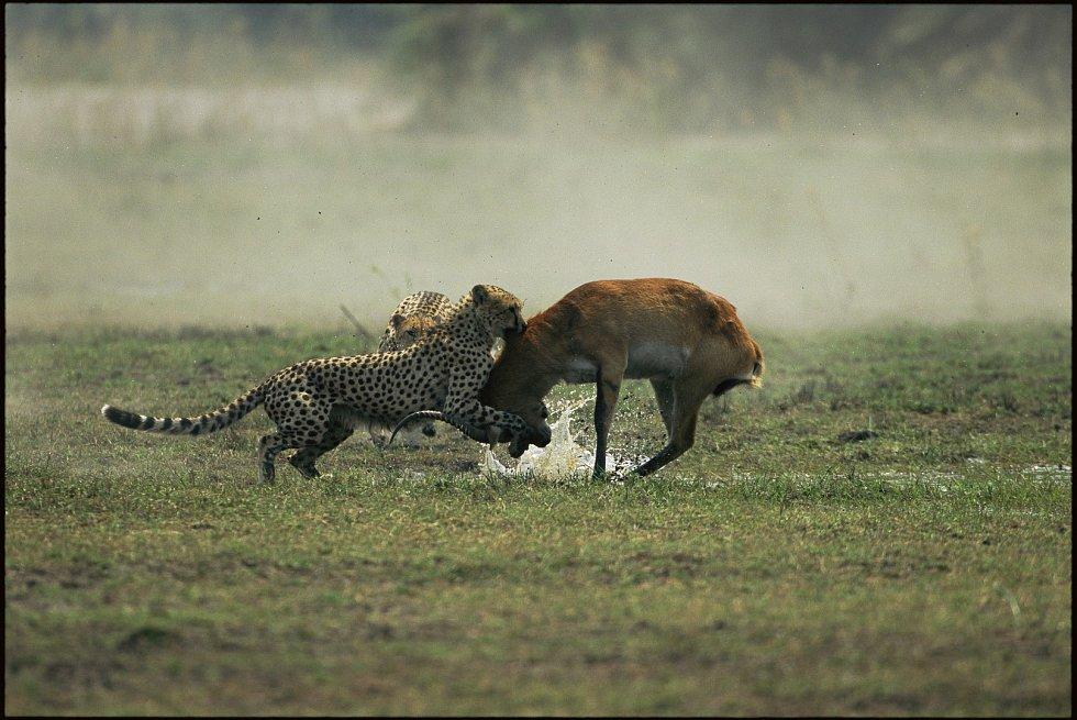 Útok na antilopu