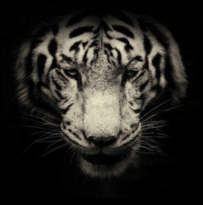 Řev tygra indického je možné slyšet až na vzdálenost 3 kilometrů. Bílé zbarvení je recesivní mutace, která byla v přírodě zdokumentována jen u indických tygrů.